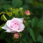 ELL83_pinkoldrose